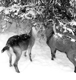 The first two kids born on Silver Hoof Nubian Dairy Goats farm, located in Vineland. The photo was taken during one of their first walks in the winter snow.