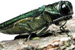 Town of Oakville to begin cutting down EAB infested trees next week