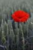 The poppy is November's symbolic flower.