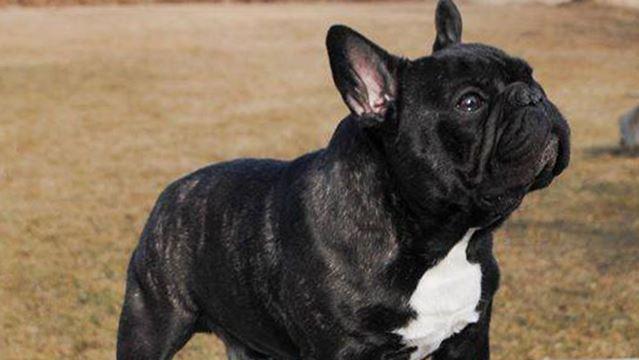 French bulldog Zambo