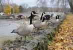 Goose problem