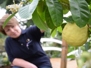 Horticulturist Galina Tchouprikova shows off the ponderosa lemon that has both fruit and blooms simultaneously making it an ideal show plant.