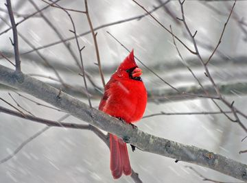 This stunning cardinal male was captured by Christmas Bird Count (CBC) volunteer William Wyrick. The CBC is a bird census. Members of the South Peel Naturalist Club will be taking part in the annual ritual again this year.