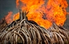 Chinese demand for elephant ivory drops, new report says-Image4