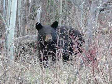 "Grey County OPP ask citizens to be ""bear wise"""