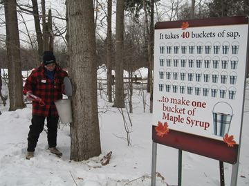 Festival tour guide Judy Kowalski checks the collection pail on one of the maple trees to see if there's any sap during the annual Sugarbush Maple Syrup Festival at Bruce's Mill Conservation Area in Stouffville. The event, which is also being held at the Kortright Conservation Area in Vaughan, began Saturday and concludes April 6.