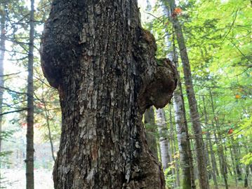 GALLS ON A TREE