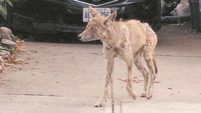 Toronto Car Sales >> Call Toronto Wildlife Centre if you see a sick coyote ...