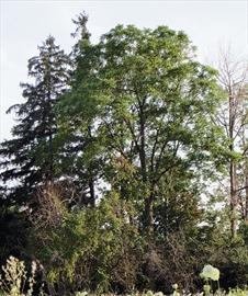 Vimy Tree