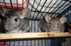 CRITTER CHATTER: Mother/daughter chinchilla duo hope for home together