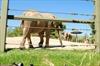 Toronto zoo elephants