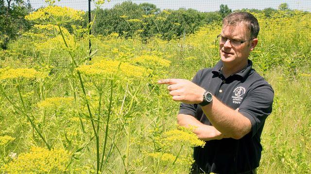 Dangerous Wild Parsnip Growing Rampant In Eastern Ontario