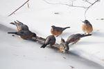 Robin sightings