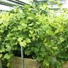 Indoor grapes