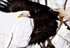 Bald eagles making strong recovery in Virginia-Image3