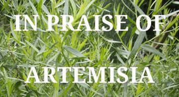 In Praise of Artemisias - a diverse group of herbs!