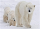 New ice study is gloomy for polar bears-Image1