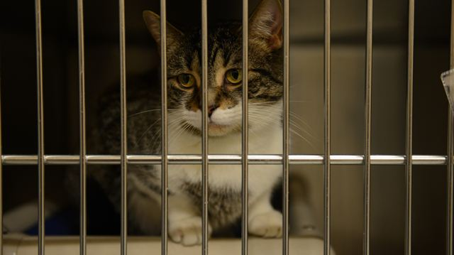 Burlington Cat Adoption