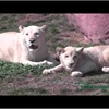 Toronto Zoo: White lion cubs look similar but each have their own personality