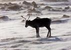 Alberta plans huge lease sale on caribou range-Image1