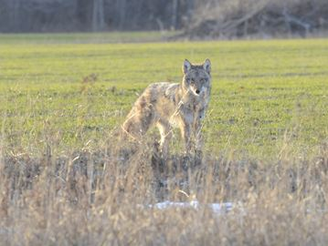 See a coyote? Keep your distance: Burlington Animal Control