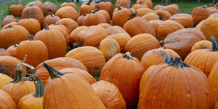 4 Peel pumpkin patches where you can pick your own