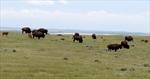 Bison herd thriving in Saskatchewan-Image1