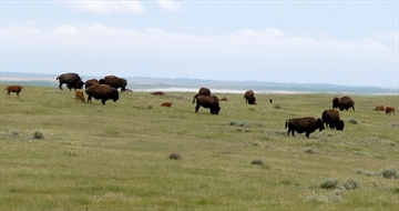 Bison herd thriving in Saskatchewan-Image1