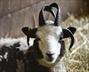 VIDEO: Lambs for Israel