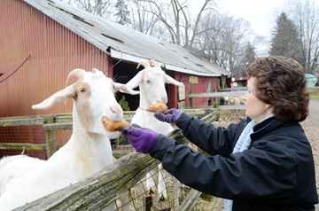 Lynda Attewell feeds the goats a pear treat.