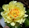 Lust and Yellow Peony - Related Image