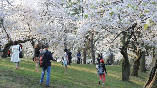 High Park Nature Centre Cherry Blossoms
