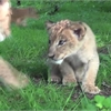 bowmanville zoo lion cubs