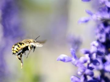 Bees are effective pollinators
