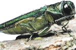 Oakville shows off Emerald Ash Borer program