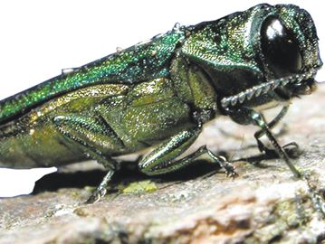Oakville shows off Emerald Ash Borer program