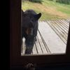 Cat scares black bear in Alaska