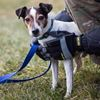 Jack Russell looking for 'Stompin' ground
