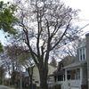 Famous maple