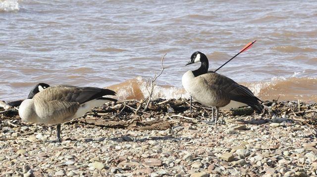 Burlington Animal Control nets injured goose at Paletta Park
