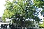 Royal Oak a heritage tree