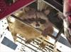 Adventurous raccoon makes 58-storey climb-Image1
