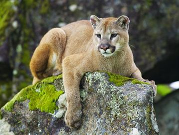 Cougar spotted in Grafton