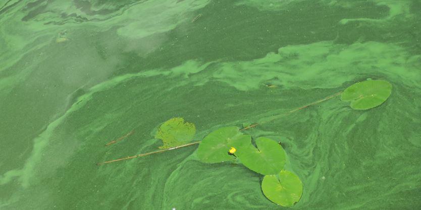 Health unit warns of harmful blue-green algae in Nipissing, Bonfield