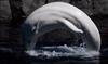 Aquarium to expand beluga exhibit over 12 years-Image1