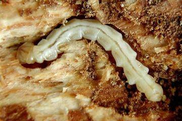 EAB Larva