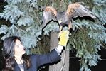 Pet hawk Lucy