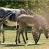 Toronto Zoo: Zebra filly isn't your typical baby