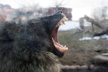 Baboons battle for throne at Toronto Zoo-Image1