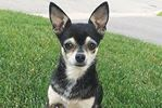 Midlanders rally to find Mini the missing chihuahua